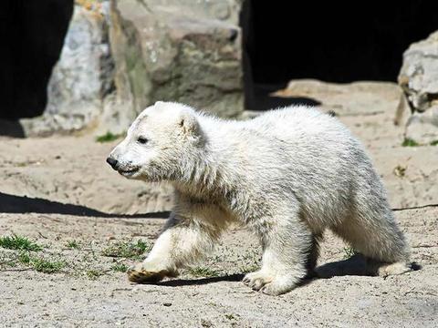 北极熊幼崽和饲养员互动,抱着毯子不让碰,饲养员一走就做这动作