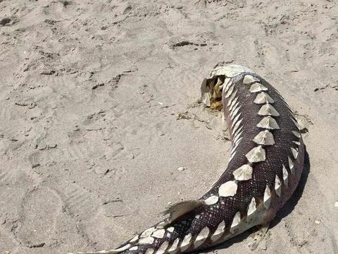 美国海滩发现神秘生物遗骸长1.8米似史前海怪