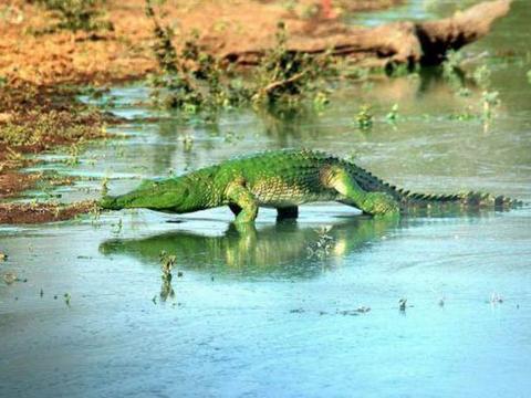 大哥在河边拍到绿色水怪,网友笑称:变异巨鳄被绿了