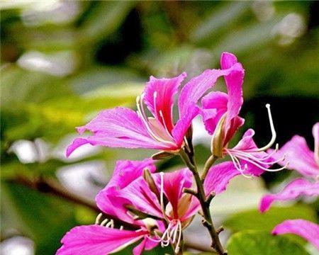 洋紫荆的常见病虫害有哪些?如何防治?
