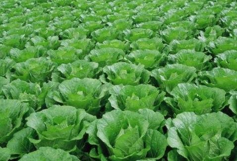 大白菜怎么种才能没有病虫害?这几个关键环节要抓住