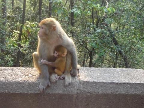 猴妈妈为保护孩子居然被车撞死,猴宝宝的一个动作让人泪奔