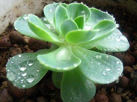 夏天养护宝石花,浇水需要多注意,才能变得肉嘟嘟,长不停