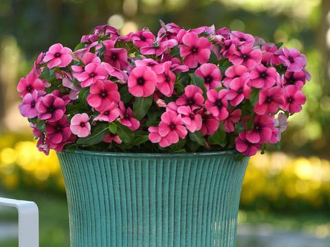 花期最长的植物,垂吊悬挂于阳台,别有风味,点缀效果好