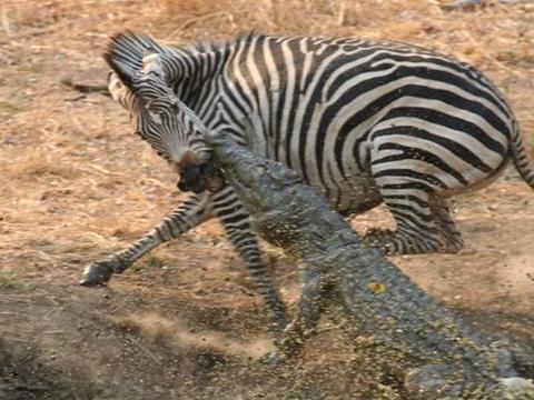 休闲惬意的斑马没有想到只是散个步,都会命丧鳄鱼口中