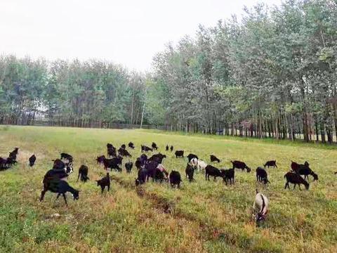 淮滨:养殖黑山羊  致富喜洋洋