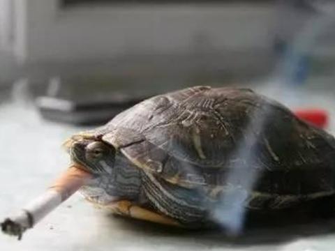 这年头什么奇葩都有,乌龟吸烟上瘾,不给吸就生气!