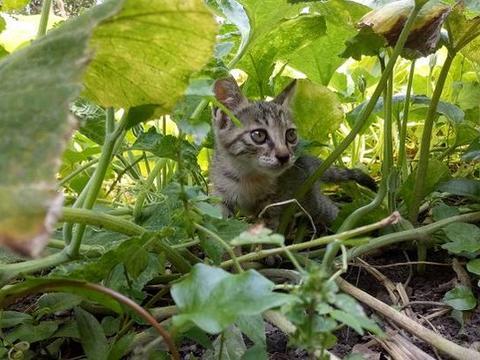听说过中华田园犬,那听说过中华田园猫吗?你了解这种猫吗?