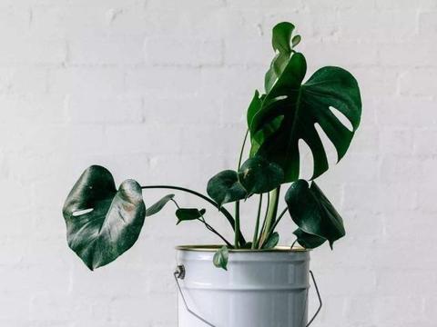 株形优美的龟背竹,掌握4点小关键,叶大又绿,自然大方!