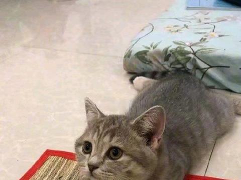 猫咪睡觉姿势像狗一样把腿撇开,可爱模样萌翻,铲屎官:想吸