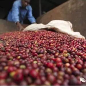 坦桑尼亚咖啡豆产量大幅增长 创近四年最高纪录