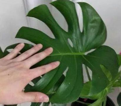 养龟背竹要记住如下几点,一整年都绿油油的,不黄叶