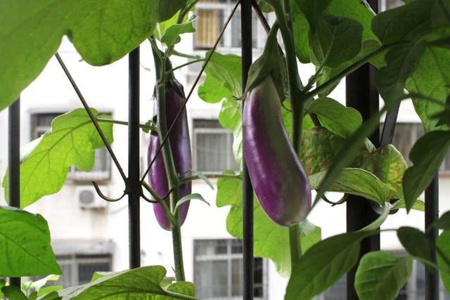 初秋最适合阳台种菜,生根发芽速度快,没几天就有新鲜菜