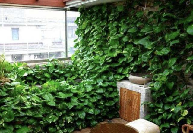 """端2盆绿萝到客厅,10个月变成""""绿萝墙"""",美化室内,还净空气"""