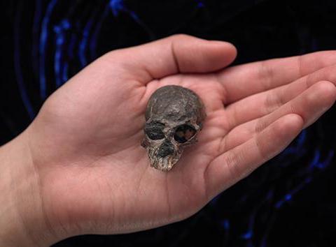 类人猿的大脑咋进化的?2000万年前头骨暗含线索……