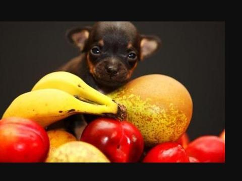 狗狗能吃水果,但不是每种水果都适合它们,乱喂可能引起食物中毒