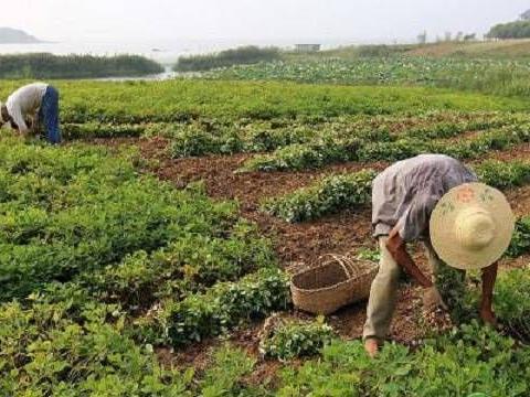 花生应该怎么种植?花生采收后期注意做好哪些管理?