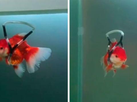主人为濒死的金鱼发明了水中专用的轮椅,大大延长了它们的寿命