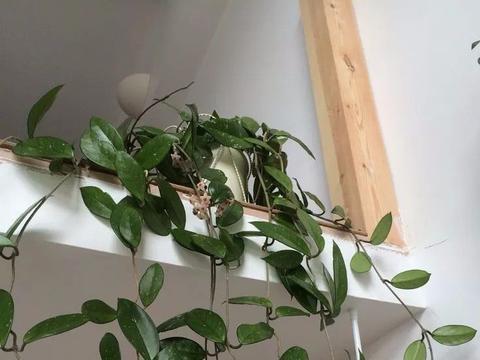 适合养室内的爬藤或垂吊植物,别以为都是观叶的,还有开花的品种