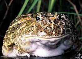 美洲巨蟾蜍与巨鳄决战 鳄鱼虽将其吞下但当场被毒死