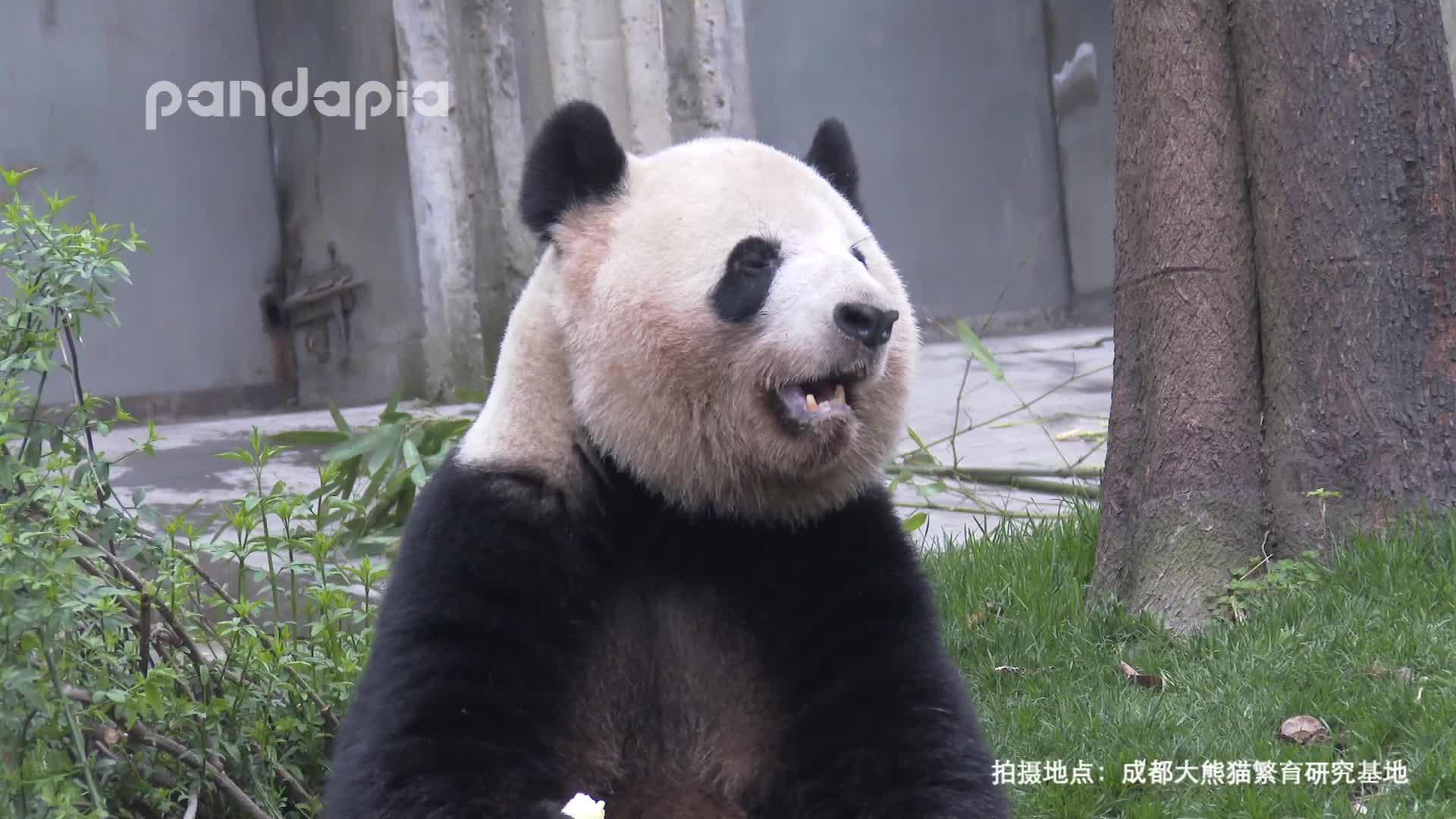 熊猫原来是这样打嗝的! http://t