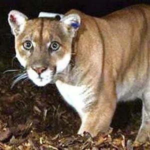 年内第三起!美国科罗拉多州一男孩被美洲狮袭击