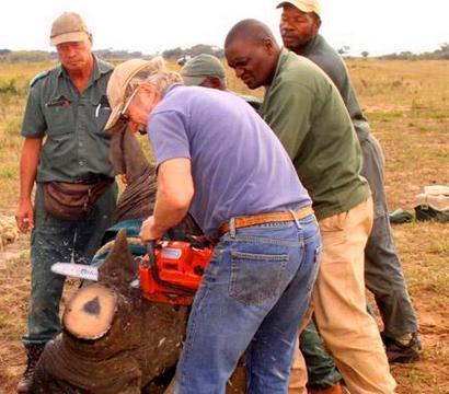 犀牛被麻醉枪击倒切掉了犀牛角,原来他们这么做是为了救它一命