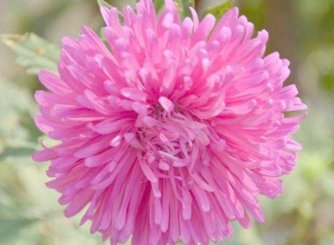 此款小花养在阳台,娇巧迷人,花朵雍容华贵,花型圆滚奇特惹人爱