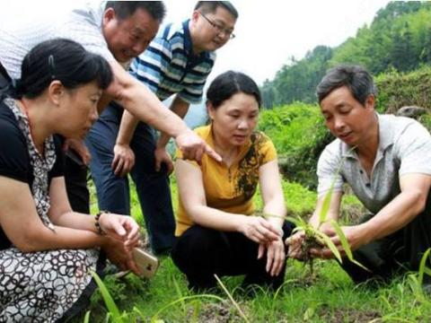 农村一种野草以前比较常见,现一斤干货20元,每亩产值10万元