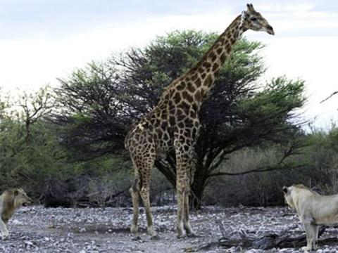 狮子猎杀长颈鹿全程:毫无反抗之力!