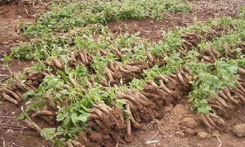 一起来围观村民山上挖出葛根被200万买走的来龙去脉