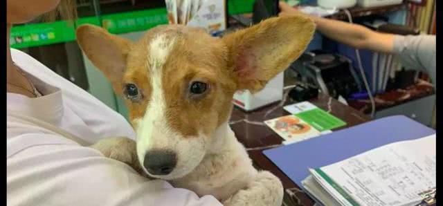 两学生误买星期狗后将它遗弃,人们给它用了最贵的药,盼奇迹发生
