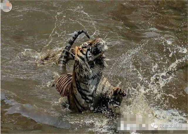 老虎为了吃到食物真是不顾形象,一身泥泞,最后一个表情真是亮了