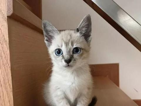 铲屎官家新来的小猫咪,耳朵好大啊