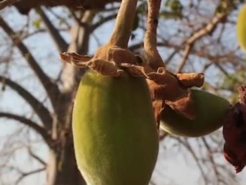 """非洲的长寿树,寿命能达到5000年,被称为""""救命神树"""""""