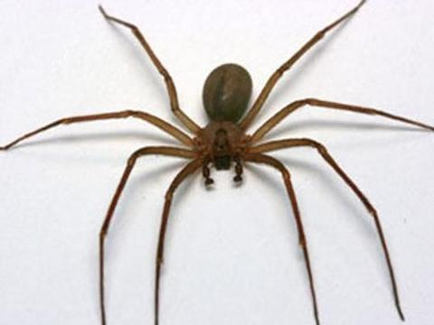 一位女士感到耳痛,医生一看,在耳朵里发现了有毒蜘蛛