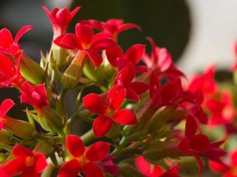 长寿花冬天开花少?用对了肥料,入冬就开花,延年又益寿!