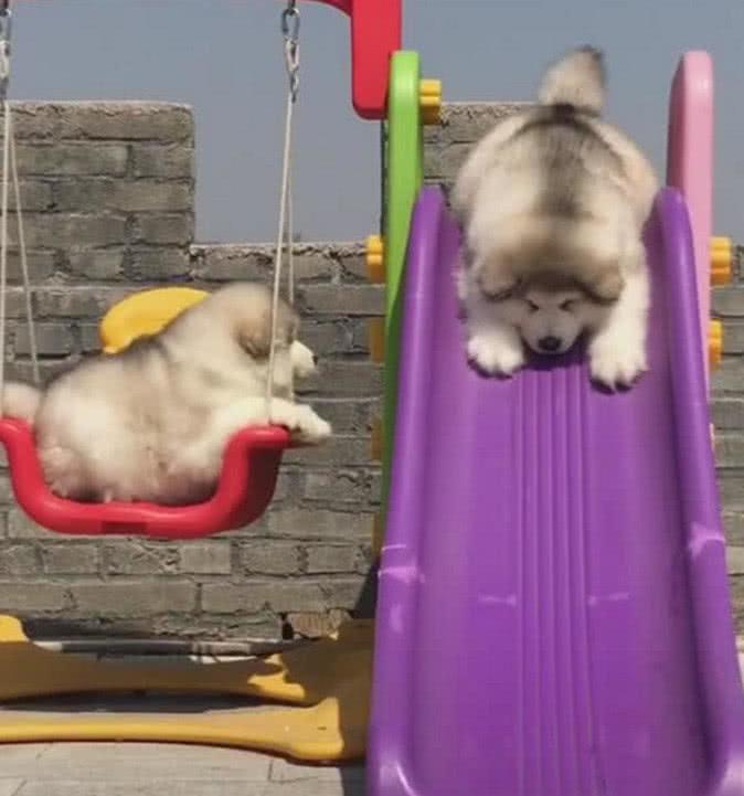 """两只阿拉斯加玩滑梯,""""画风""""竟然如此不同,真的是太萌了"""
