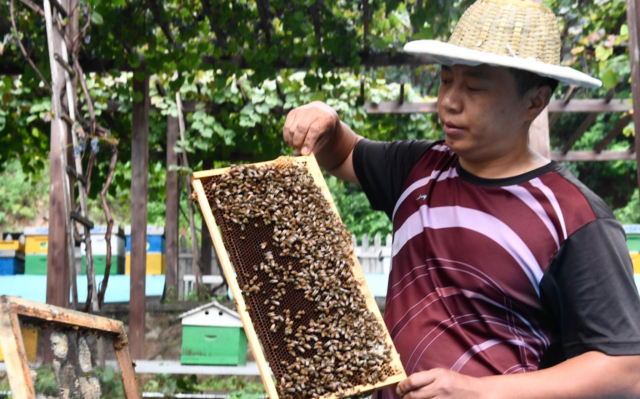 密雲蜂農打開蜂箱,展示蜜蜂品種。新京報記者 吳寧 攝