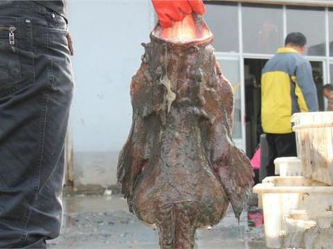 渔夫捕到一只巨型丑鱼,掰开嘴巴后,这下可兴奋坏了