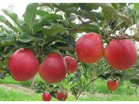 新一代苹果栽培的栽培方式,让果农更好的栽培出更好的树苗!