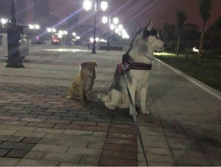 带二哈遛弯遇到流浪狗,二哈竟高高在上藐视它,主人满脸无奈