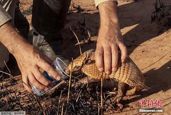 2019年8月23日,巴西Nova Mutum,官员Pedro Ribas Alves在视察巴西大火烧毁区域时,在喂一只犰狳喝水。