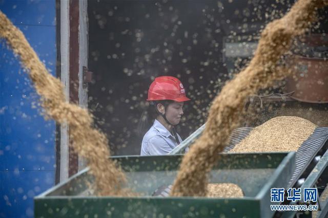 湖北江汉平原:中晚籼稻收粮忙
