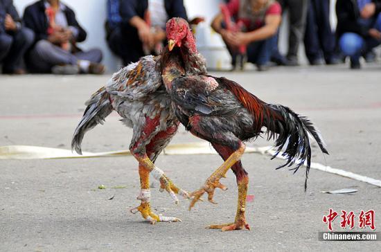 资料图:公鸡。马新龙 摄