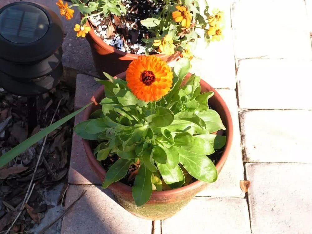 在石头缝里也能长得金盏花,为啥养花盆里还容易死,关键就是温度