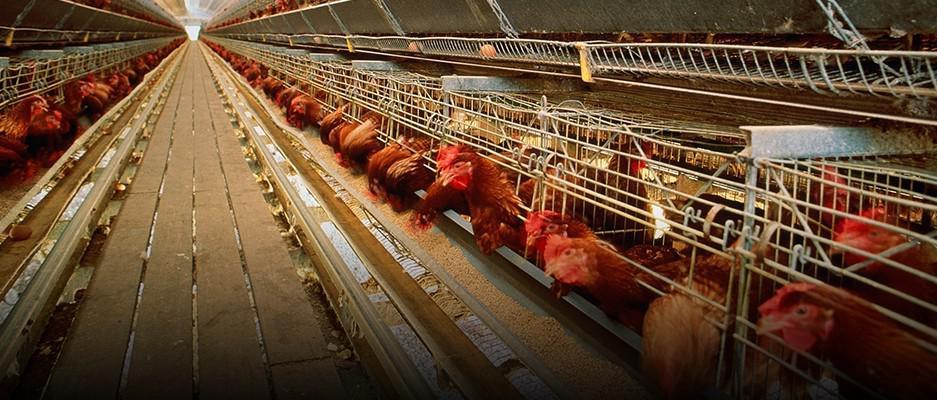 """产地调查:鸡肉价格怎么走?还能愉快地""""吃鸡""""否?_任务赚钱网"""