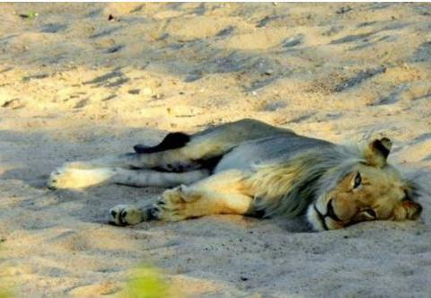 亚成年雄狮不知为何负伤倒在路上,其中生殖器受到的伤害最严重
