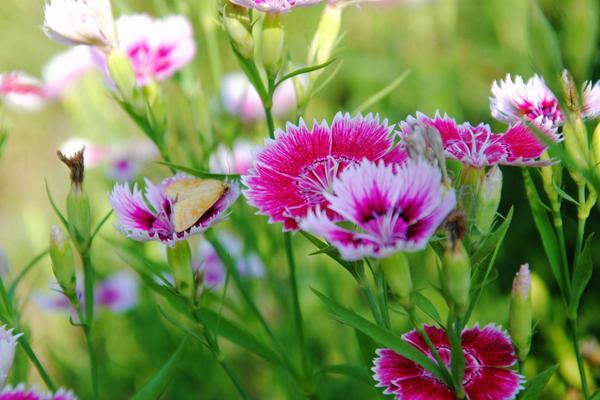 可以一年四季都开的花,花朵繁茂、五彩缤纷,一起来看石竹花!