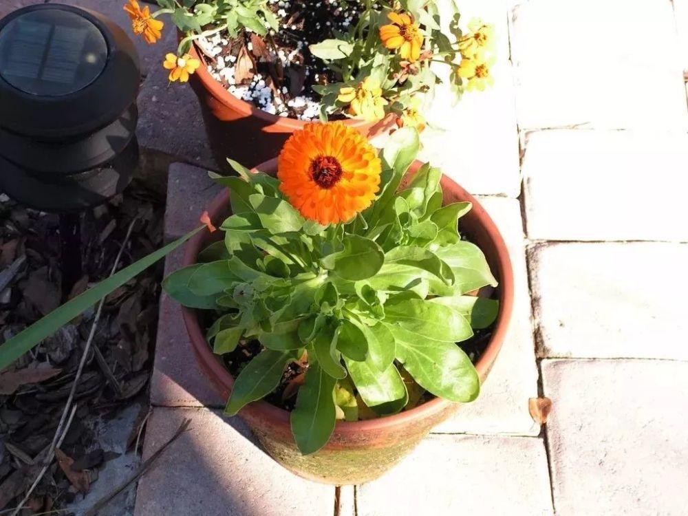 在石头缝里也能长的金盏花,为啥养花盆里还容易死,关键就是温度
